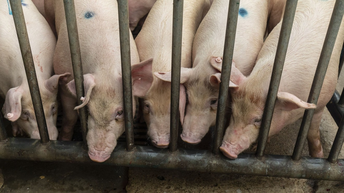 the-margin:-a-new-virus-emerging-in-chinese-pig-farms-has-the-'essential-hallmarks'-for-a-pandemic